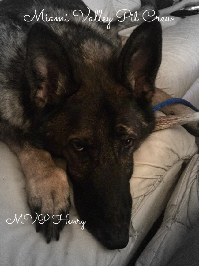Henry, a GSD, is ready for adoption