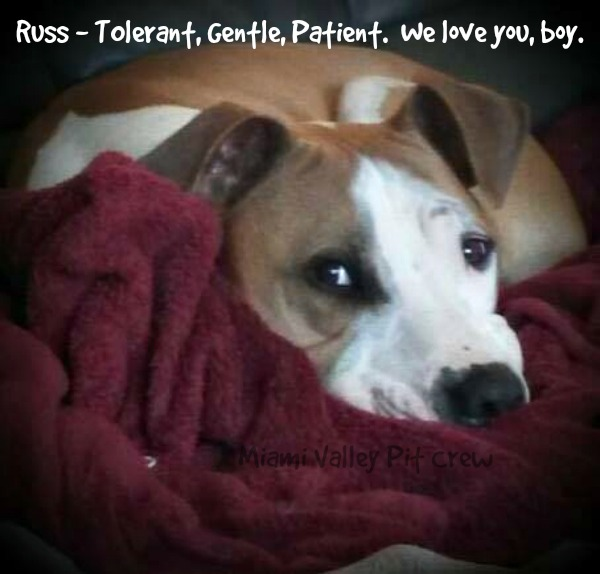 Russ - brown and white gentle pit bull mix rescue dog.