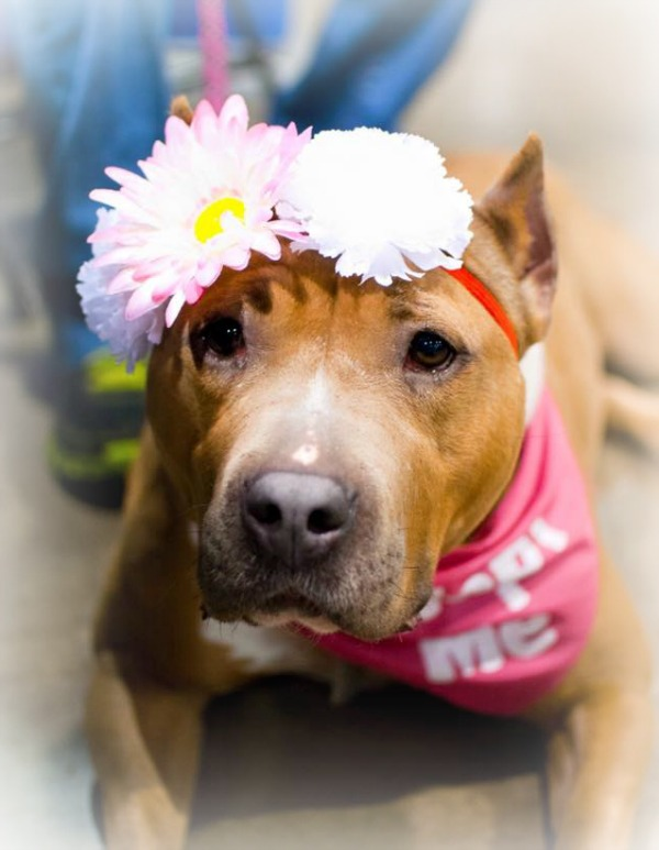 american pit bull terrier with flowered headband
