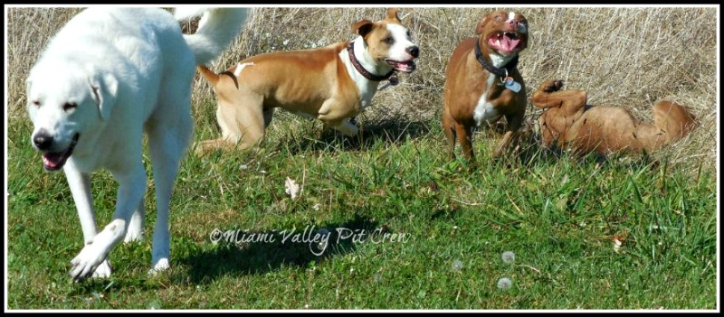 pit bull dogs from Miami Valley Pit Crew