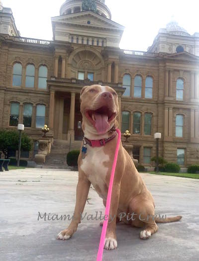 pit bull dog sitting obediently in front of the county courthouse